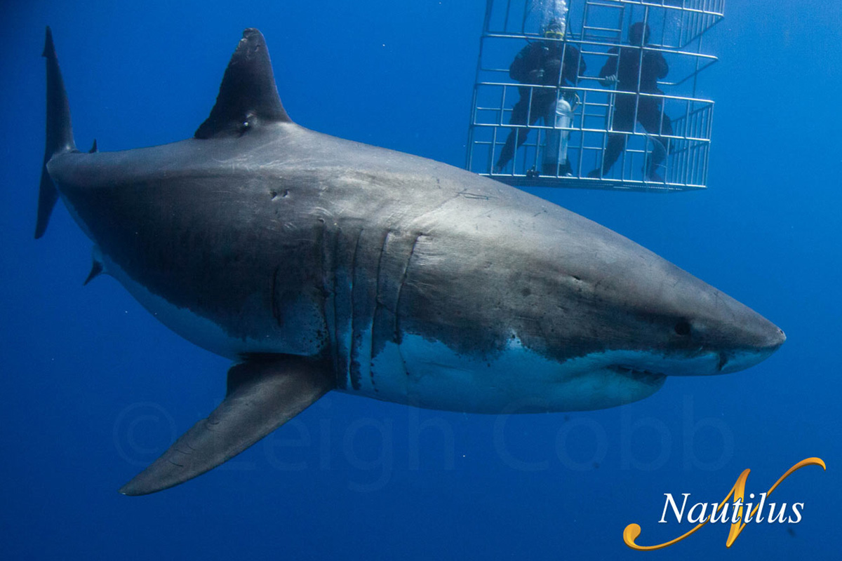Insane Special On Great White Cage Diving Trips