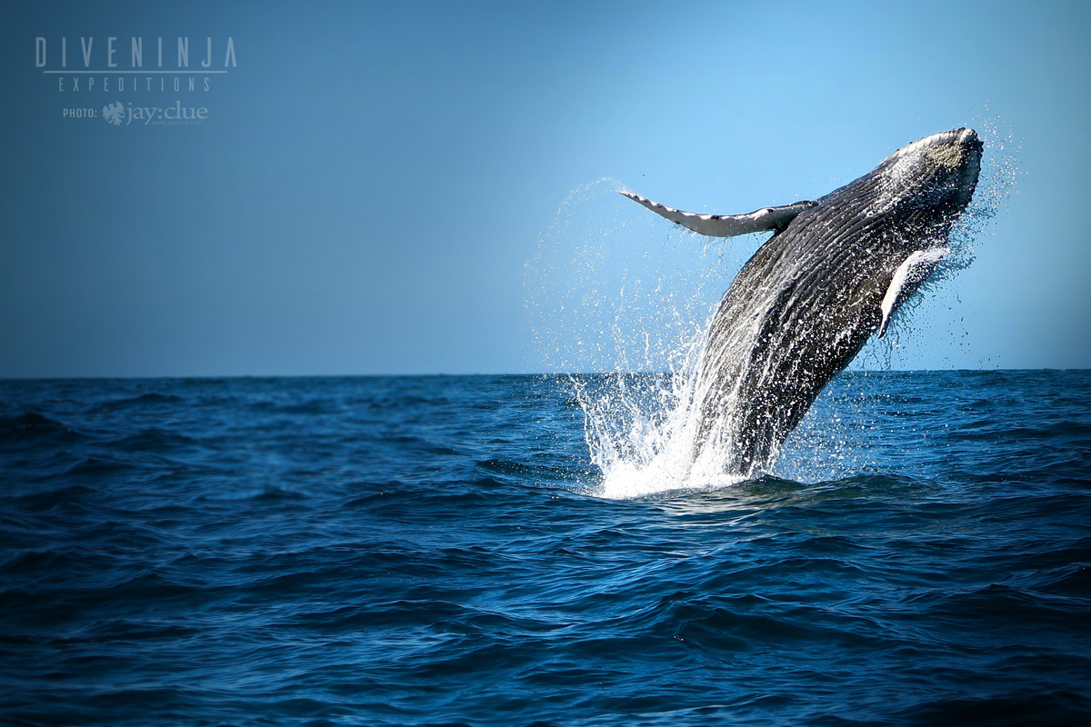 Baby humpback whale breaching Los Cabos Mexico