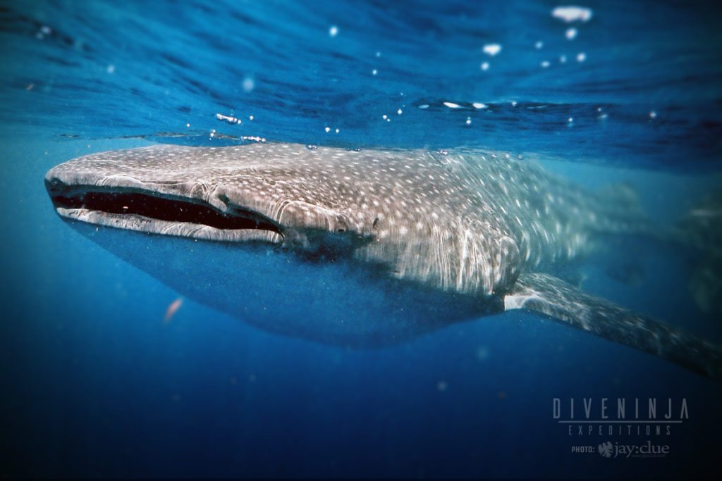 Whale Shark Snorkeling mexico