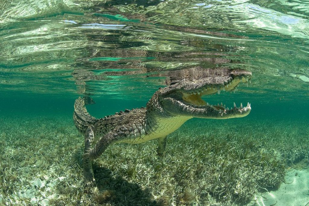 diving with saltwater crocodiles