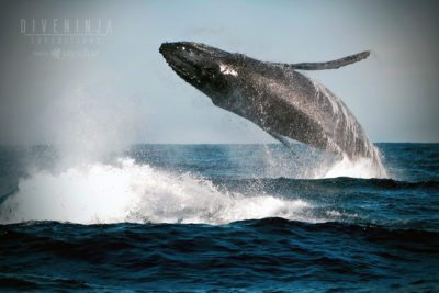 humpback whale watching Cabo San Lucas, Mexico
