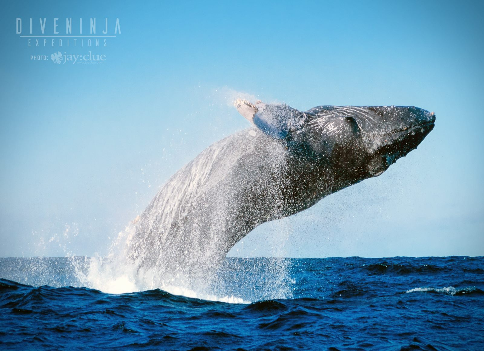 Humpback whale watching in Los Cabos, Mexico