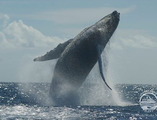 Fun Facts About Humpback Whales