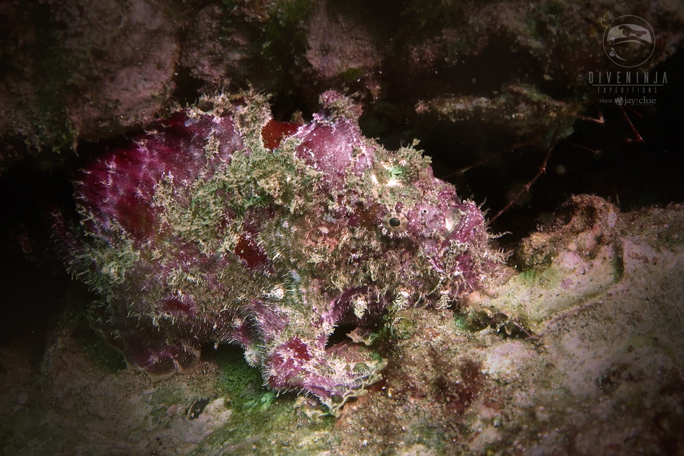 Purple frog fish Cabo San Lucas