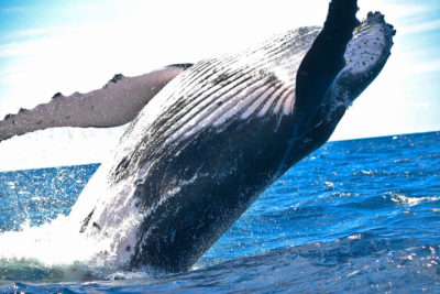 Humpback whale watching cabo san lucas