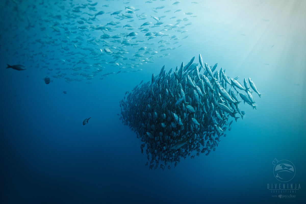 Diving with a school of snapper