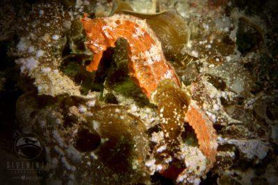Seahorse Cabo San Lucas
