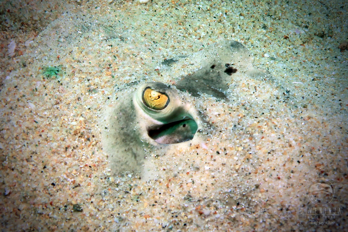 Spotted Ray- Cabo Pulmo
