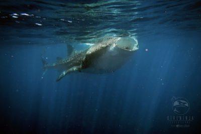 Whale shark snorkeling filter feeding