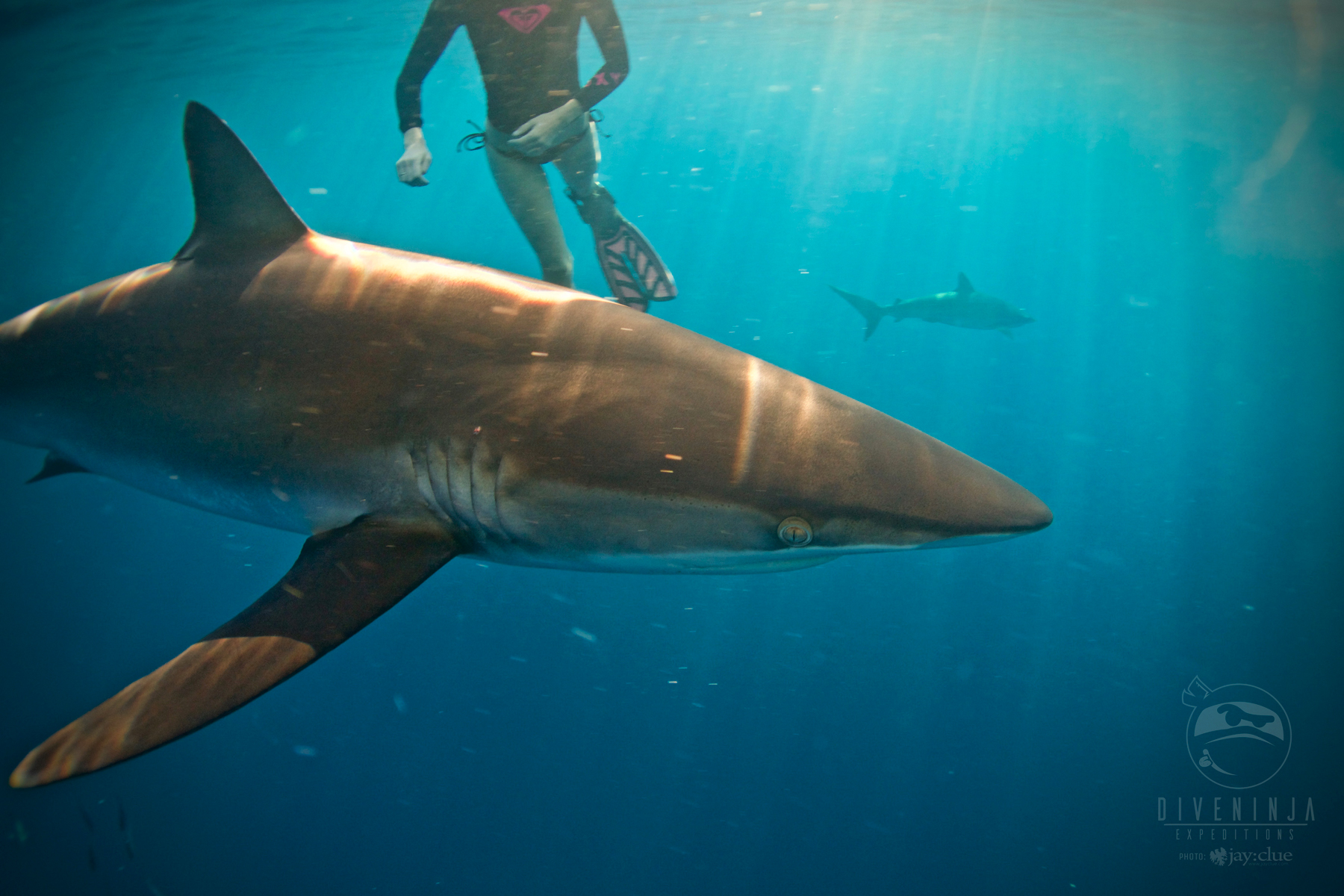 Shark diving cabo diving