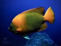 Clarion Angelfish while scuba diving at the Boiler
