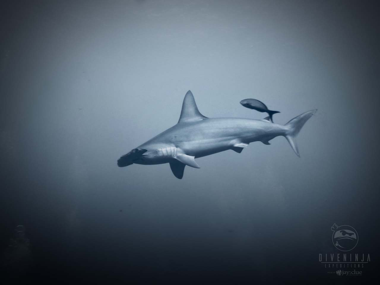 Hammerhead shark diving at Socorro on Nautilus Liveaboards