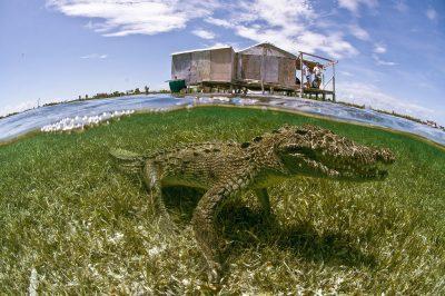 swim-with-crocs-banco-chinchorro