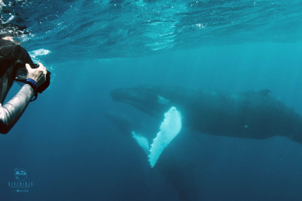 snorkeling with humpback whales in Silver Bank
