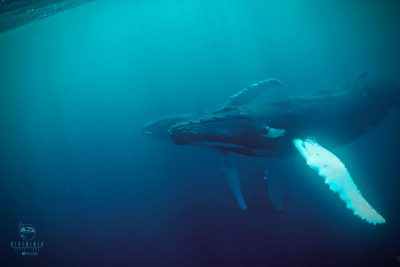 swimming with humpback whales in Silver Bank