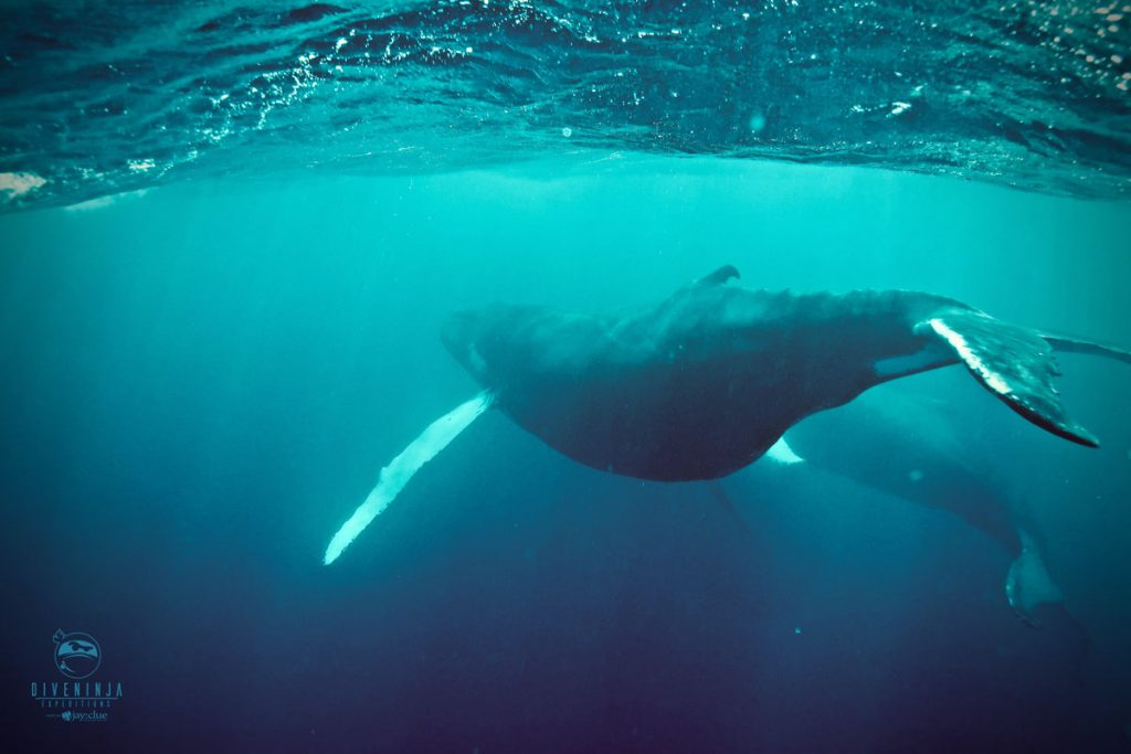 diving with humpback whales in Silver Bank