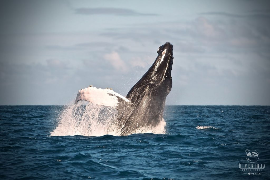 Humpback whale breaching in Silver Bank