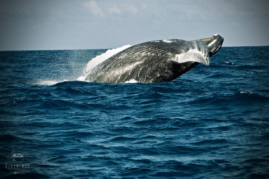 Silver Bank Humpback whale breaching