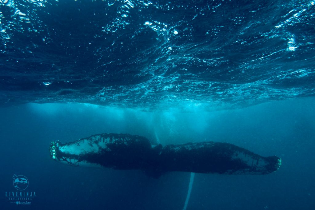 Humpback whale snorkeling in Silver Bank Dominican Republic