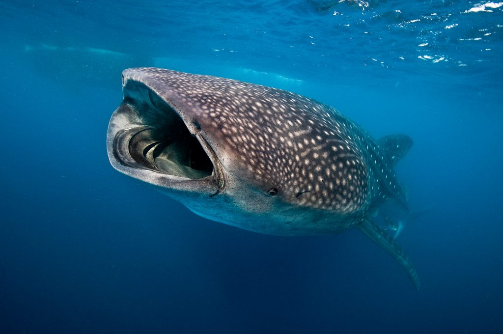 dive with whale sharks in Mexico