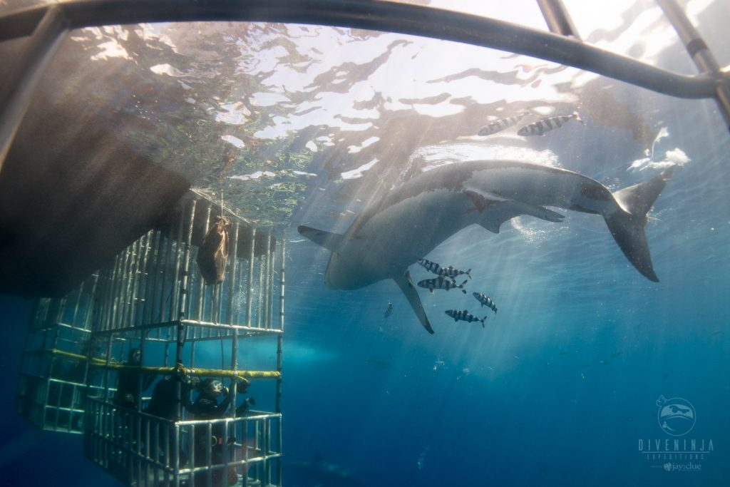 Guadalupe island shark diving