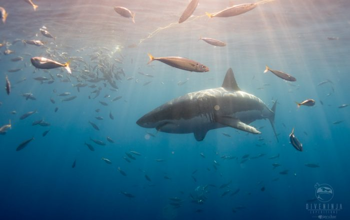 Get in the water with great whites, on expedition with Dive Ninjas