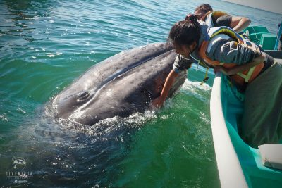 grey whale watching mexico