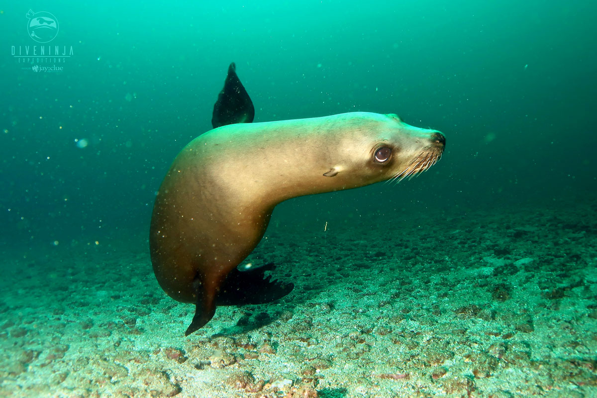 Scuba diving with sea lions in Cabo San Lucas