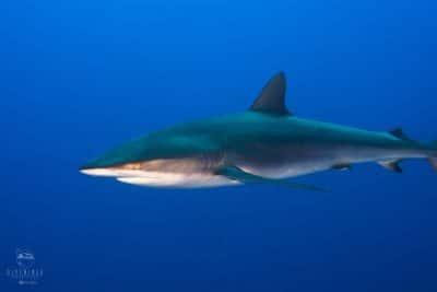 Socorro shark diving research trip