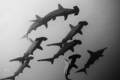 scuba diving with hammerhead sharks at Roca Partida Mexico