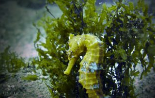 Sea horse at Whales Head dive site on the corridor in Los Cabos Mexico