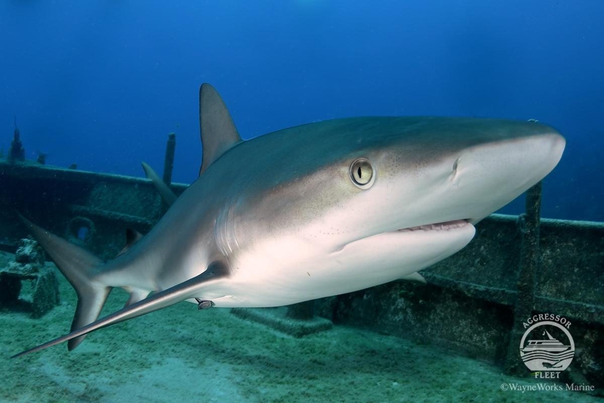 Tiger Beach Shark Diving Bahamas Liveaboard