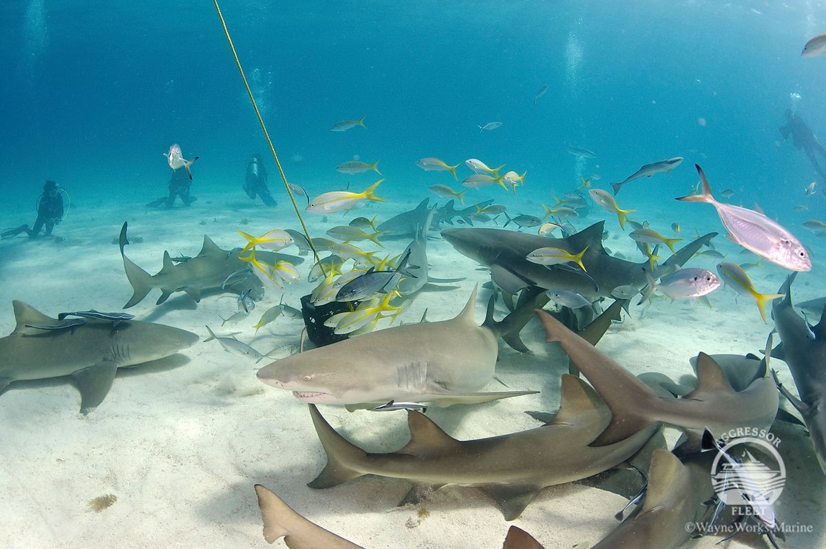 Tiger Beach Bahamas scuba diving with sharks