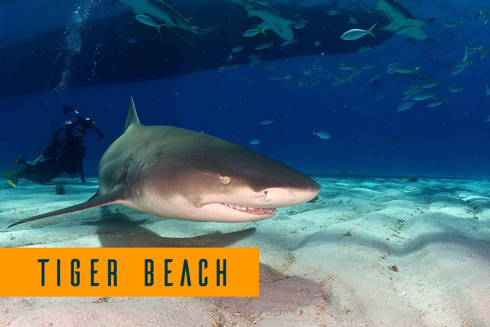 Tiger beach liveaboard dive trips