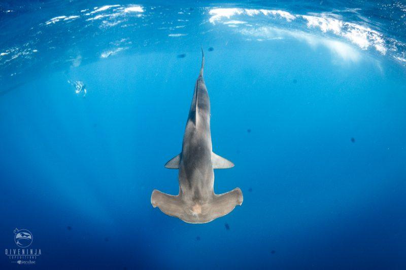 Silky Shark diving Gordo Banks, Los Cabos