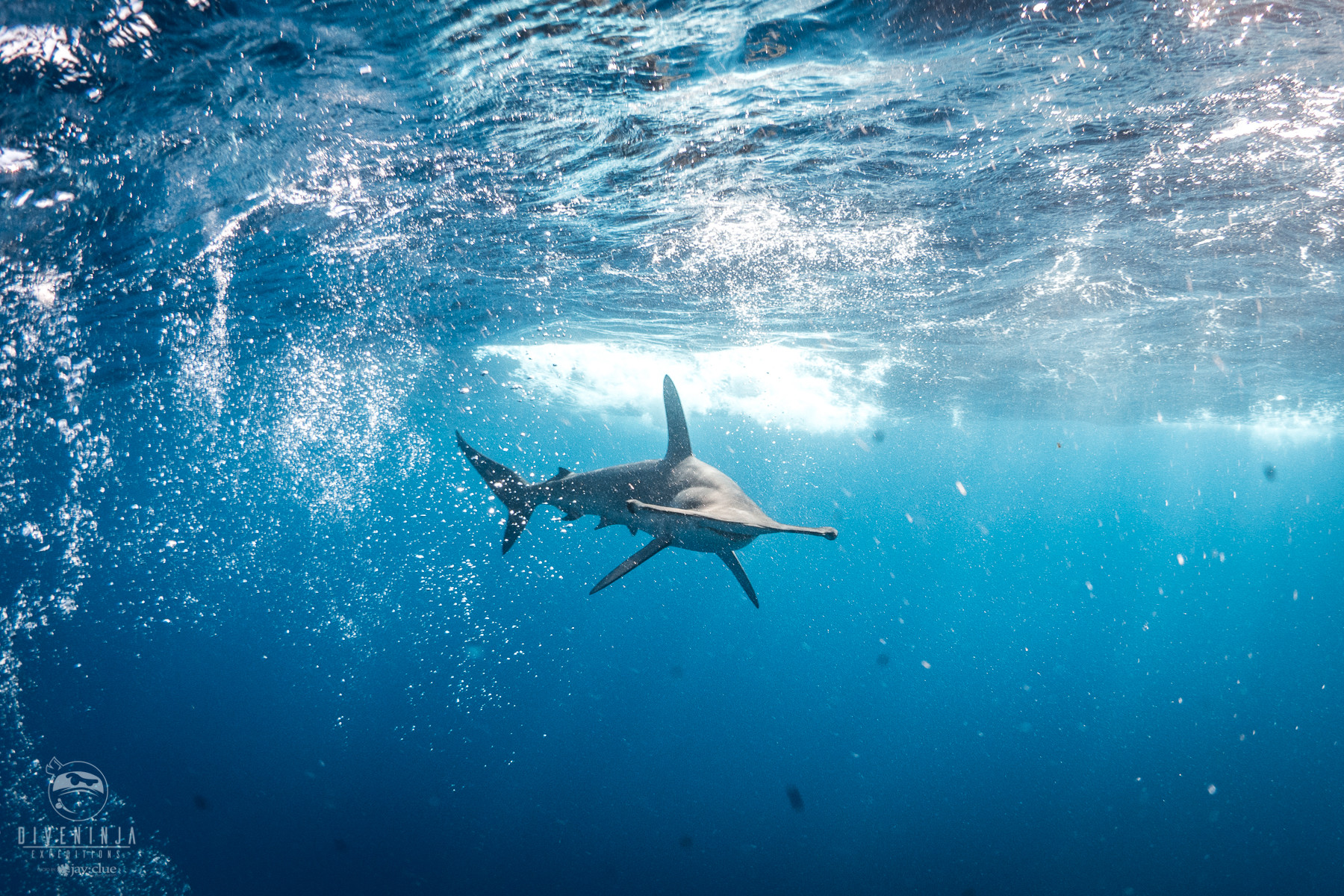 hammerhead shark Diving in Cabo San Lucas