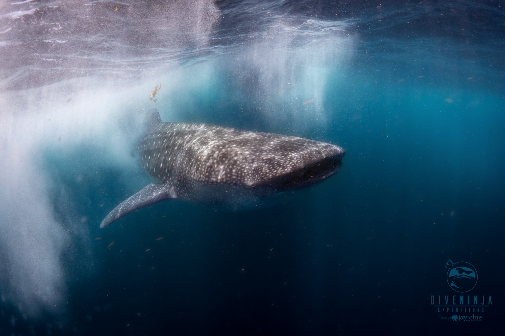 Diving with Whale Sharks in Mexico