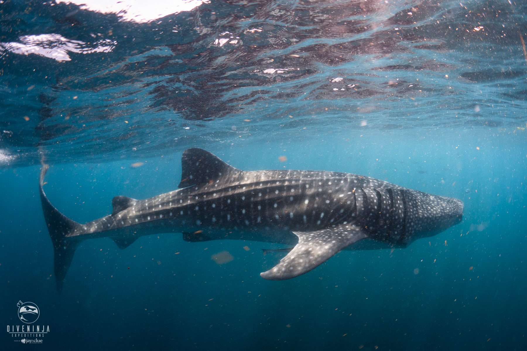 Whale shark - the biggest fish in the ocean, on expedition with Dive Ninjas in Baja