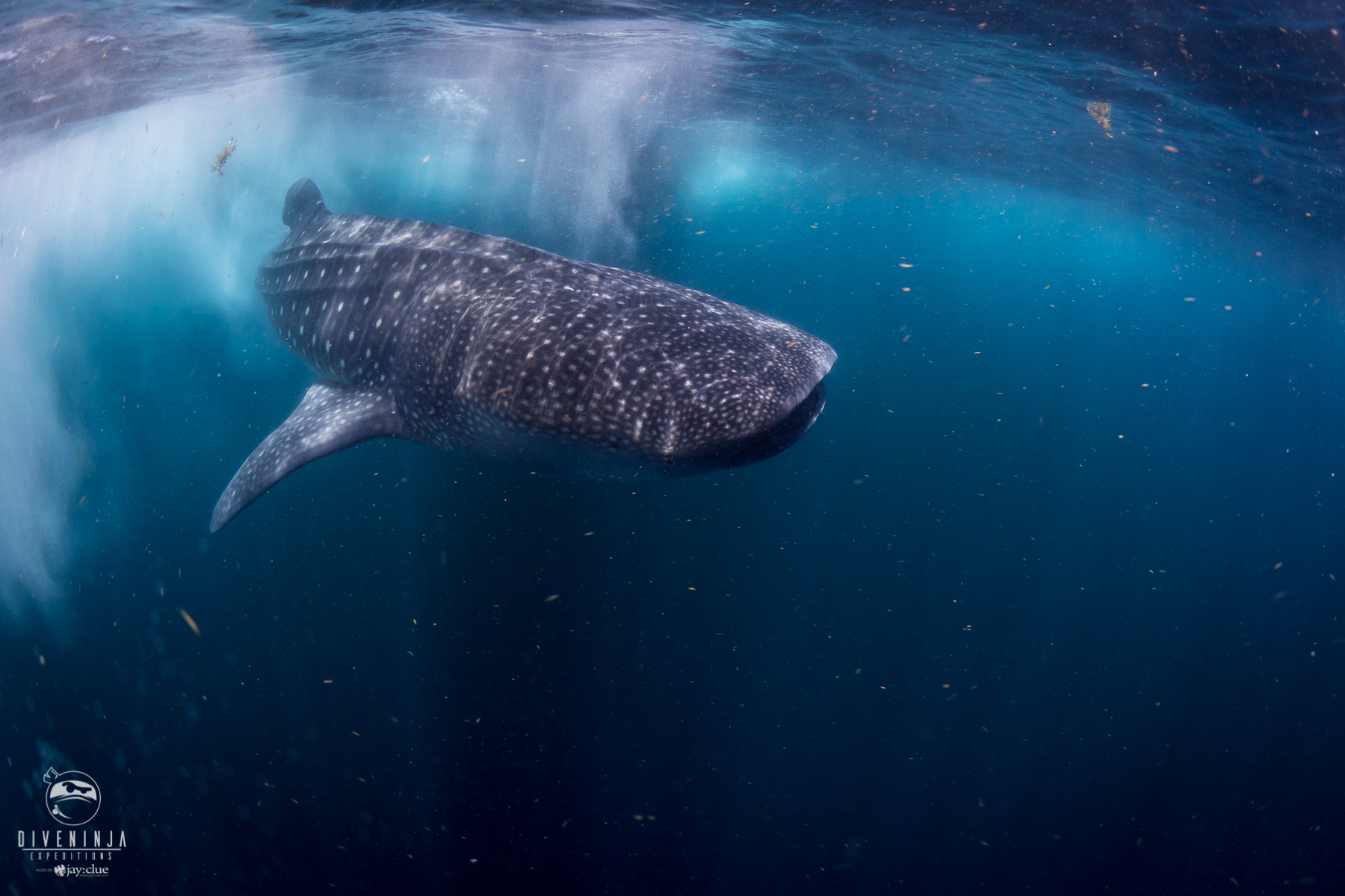 Whale shark in the Sea of Cortez, Mexico, on expedition with Dive Ninjas