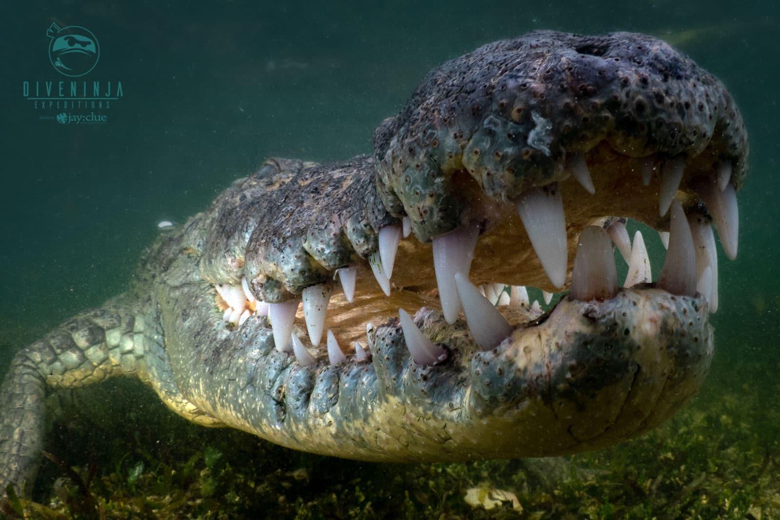 Crocodile diving in Banco Chinchorro