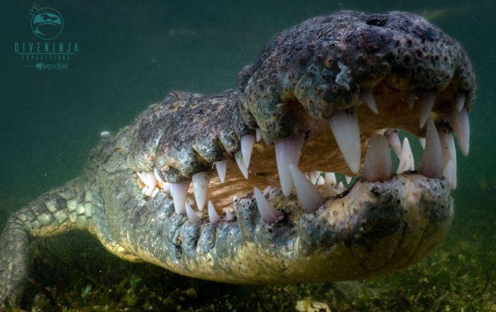 Crocodile Diving at Banco Chinchorro with Dive Ninja Expeditions