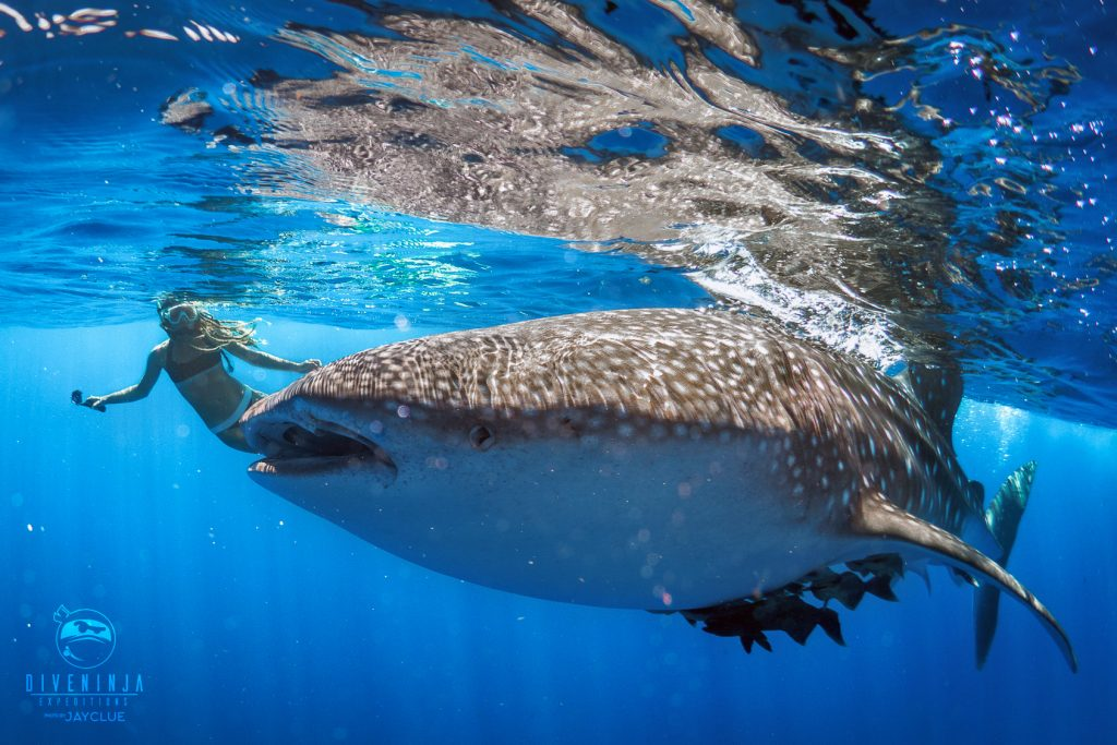 Dive with Whale Sharks La Paz