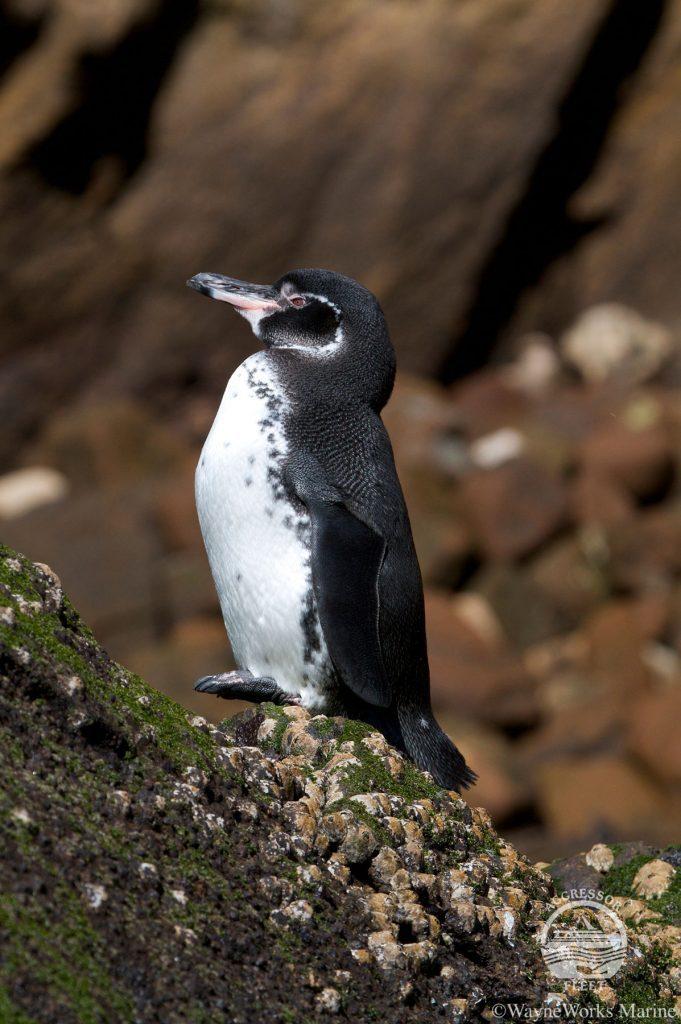 Galapagos Islands tour Penguins