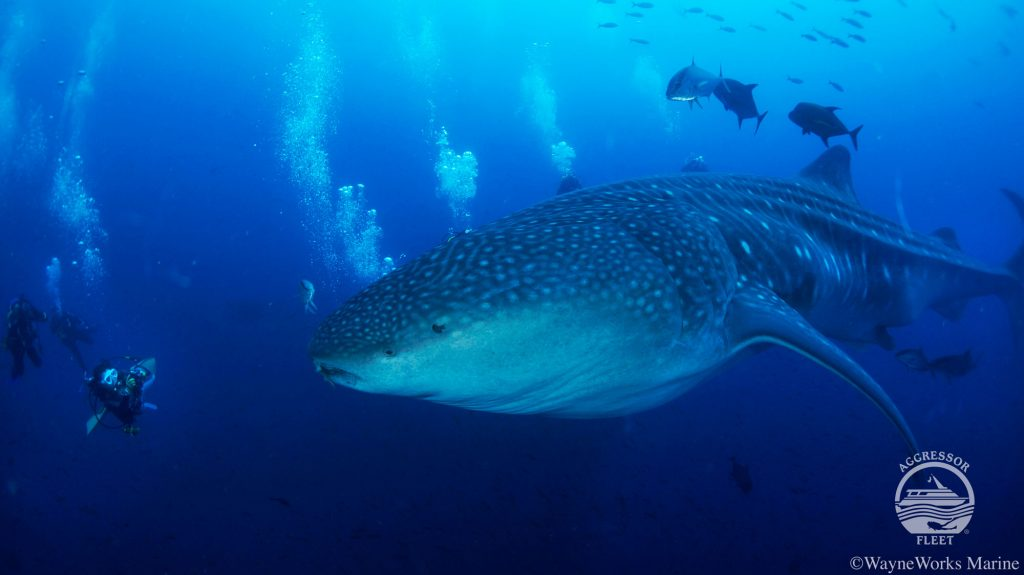 Galapagos Liveaboard diving whale sharks