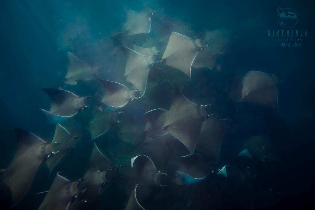 Diving with massive schools of Mobula Rays in Cabo San Lucas