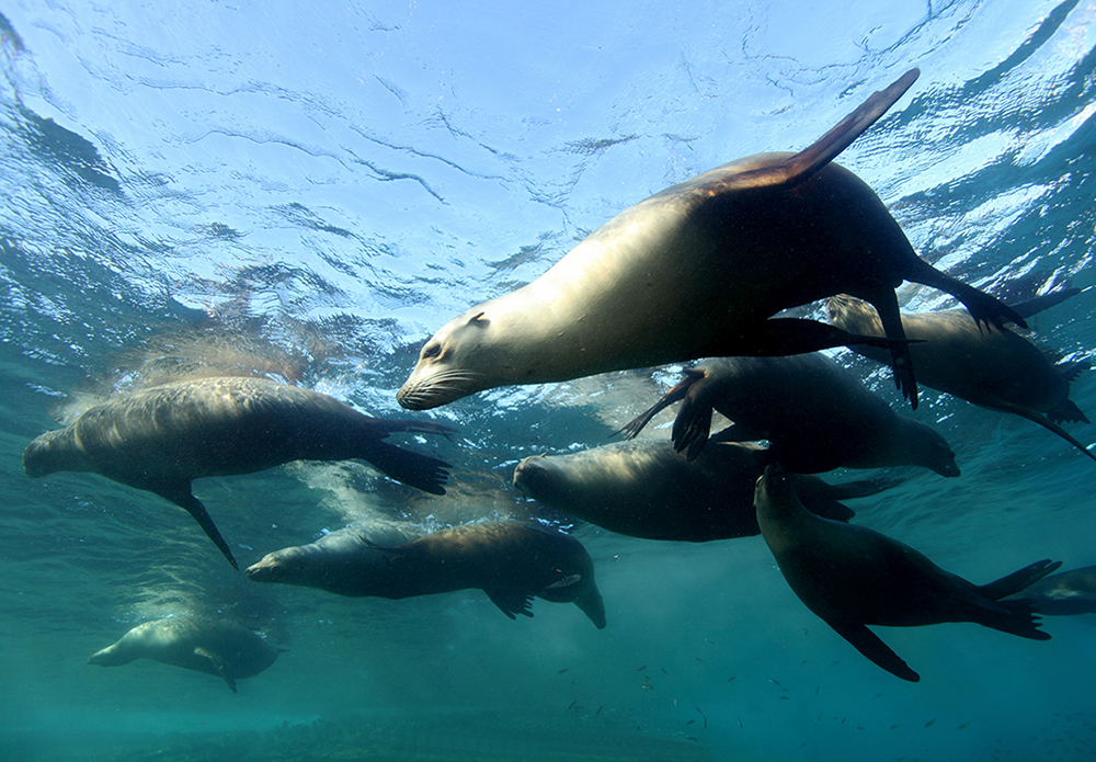 Dive with sea lions in the sea of cortez, Midriff Islands