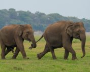 Elephants on Sri Lanka Safari with Dive Ninja Expeditions & Aggressor Safari