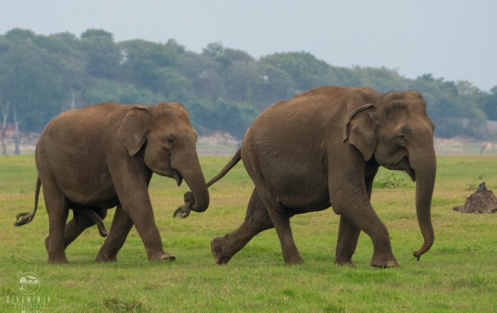 Elephants on Sri Lanka Safari with Dive Ninja Expeditions & Aggressor Safari