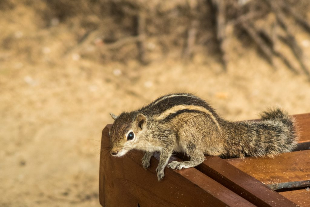 Sri Lankan Palm Squirrel