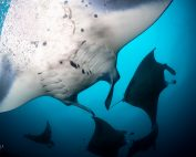 Diving with mantas in the Maldives with Aggressor Liveaboards